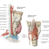 Pathway of the Right Recurrent Laryngeal Nerve