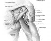 Posterior Shoulder Innervation